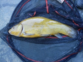 sussex tench angling fishing
